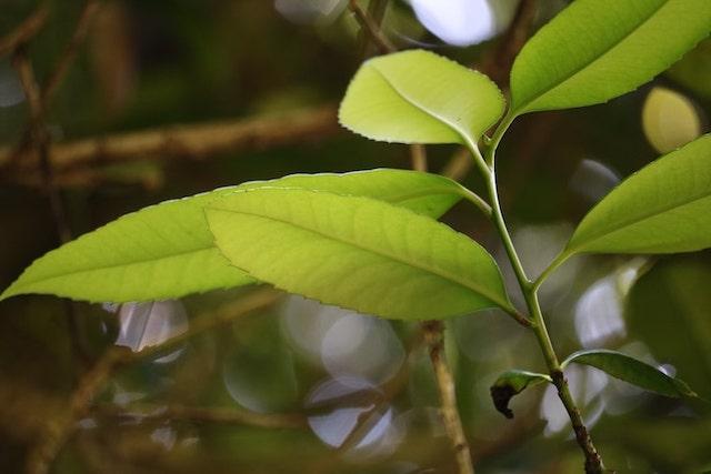 多羅葉樹の葉っぱ